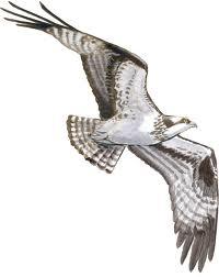 Osprey 5k